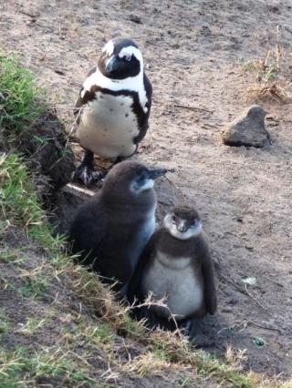 Pingwiny na Boulders Beach