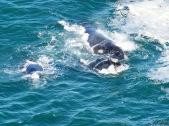 Wieloryby w Mossel Bay