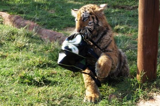 Pokaż Tygrysiu co masz w pysiu?