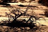 Martwe korzenie, uschnięte na kość