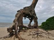 Sosny przy plaży