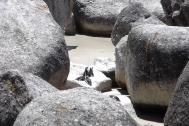 Pingwiny w Boulders
