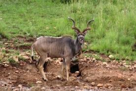 Pilansberg - Kudu