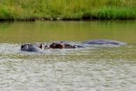 Pilansberg - Hipopotamy