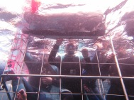 cage_diving