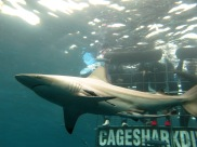 cage_diving15