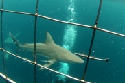cage_diving19