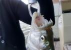 Ta ryba ma większe zęby niż ja...