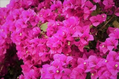 bougainvillea-flowers-pink